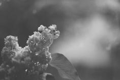 Lilac001_BW